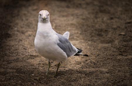 Seagull looking at camera