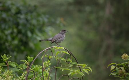 Grey catbird on ornamental perch in a garden