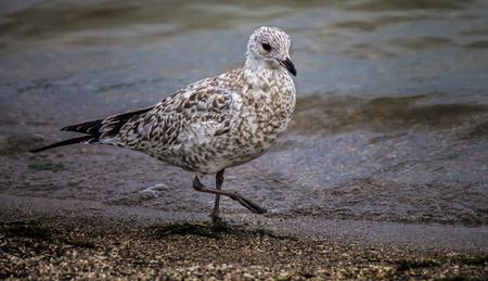 Seagull walking along waters edge Banco de Imagens