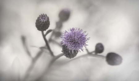 Purple thistle and grey tones