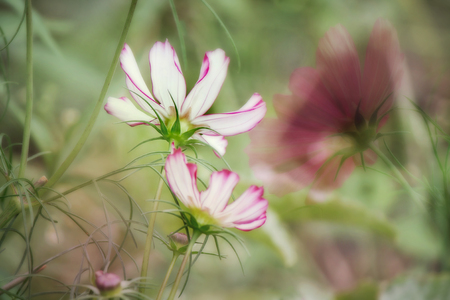 cosmos in field