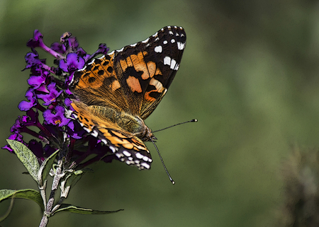 Close up of butterfly on purple flower
