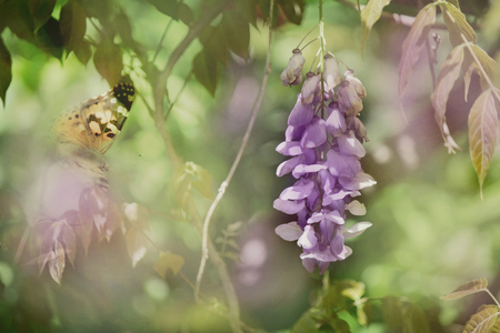 Wisteria and butterfly