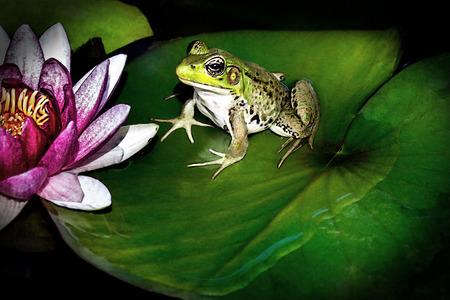 Frog on lily pad 版權商用圖片