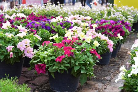 Ornamental flower in pot