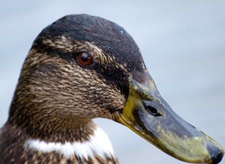 nature picture: head of a duck with yellow and black beak, nature picture Stock Photo