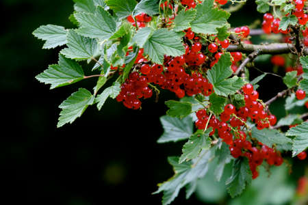 Nice illustration of garden life: red currant Stock Photo