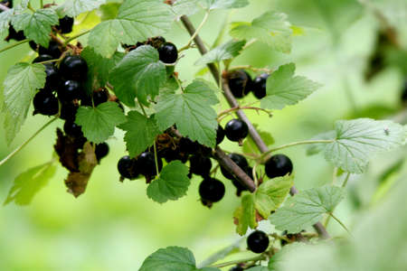 The branch of black currant Stock Photo