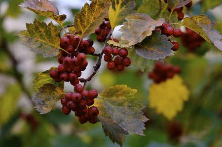 shrunken: Branch of ashberry in autumn in the park