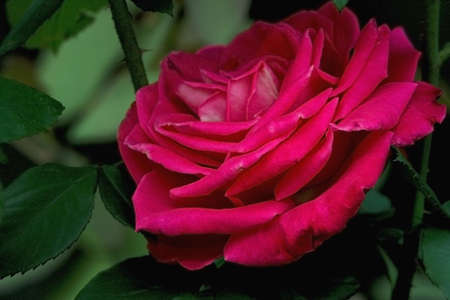 Tender pink rose in gloomy day closely