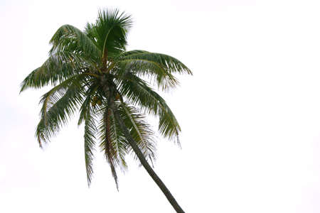 Isolated palm on the white background