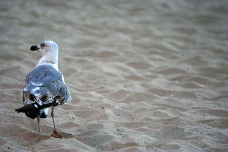 Seagull staying on the sand and looking around