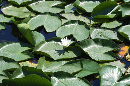morass: Water lily blooming on the morass