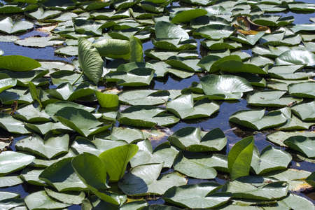 morass:  picture of morass with water lilies in a sunny day