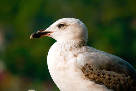Seagull on the smooth green background