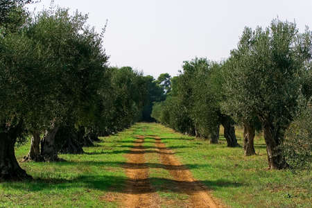 Road in the garden among olive trees Stock Photo