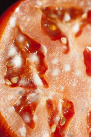 alimentation: Close-up of mold on cutted unfresh tomato.