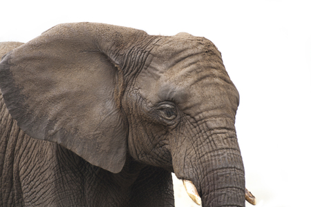 Head of African elphant covered in mud with against white background 写真素材