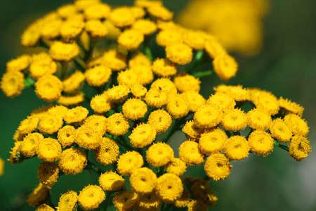 Close-up on Tansy (Tanacetum vulgare) yellow flowers growing on meadow Zdjęcie Seryjne