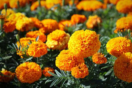 Orange flowers on flowerbed in public park
