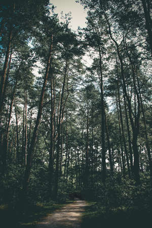 Sombre image of pine trees in young forrest Zdjęcie Seryjne