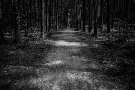 Path trail through the pine tree young forrest, black and white image
