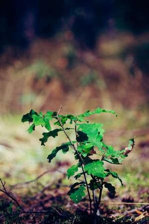 Close up of little oak tree sapling growing on forrest floor Zdjęcie Seryjne