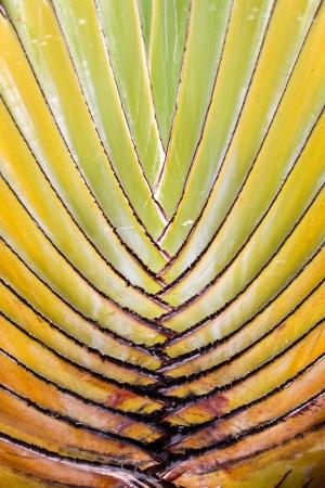 Leaf bases on a Traveler s Palm  Ravenala madagascariensis