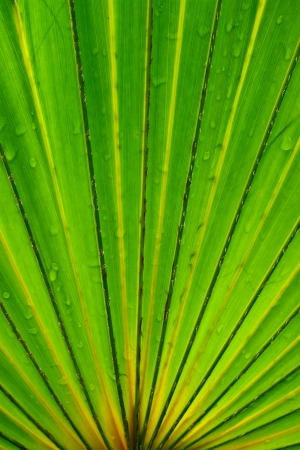 Palm leaf with various shades from green to yellow