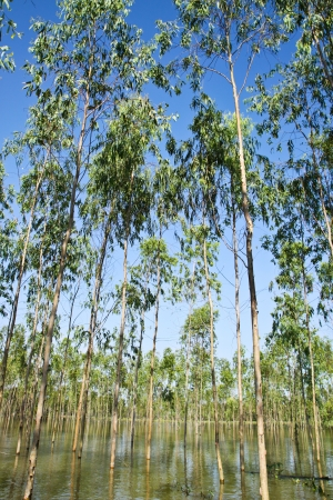 plats: Flooding Eucalyptus forest in Thailand, plats for paper industry