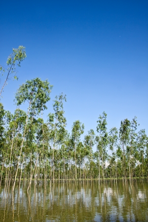 Flooding Eucalyptus forest in Thailand, plats for paper industry
