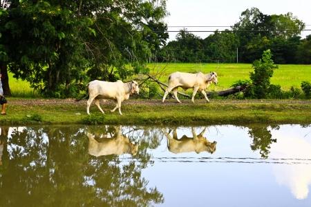 Cows and reflection at the lake,thai farm