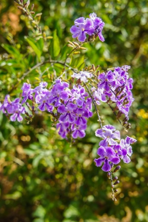 Purple blue Duranta flower  Duranta erecta , aka Golden dewdrop, Pigeon berry, Sky flower  Natural green background