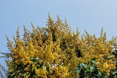 Flowering mango