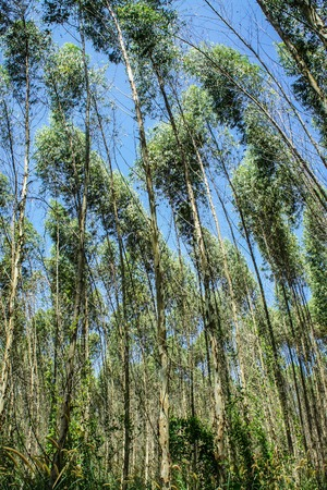 Eucalyptus forest in Thailand, plats for paper industry Stock Photo