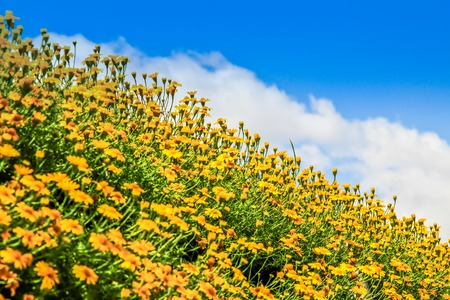 Yellow cosmos flowers and sky
