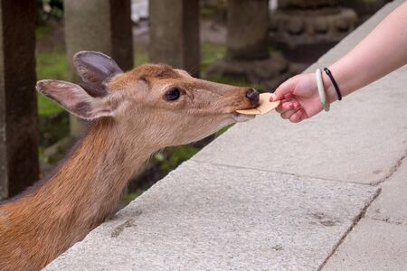Female hand holding crackers `Senbei`to feeding deer.The deer bites the crackers `Senbei` that the woman is offering.