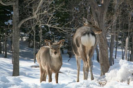 Wild animal in Shiratoko, in in Hokkaido,