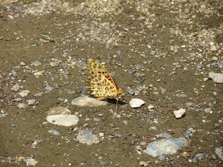 farbe: Monarch Butterfly Japan