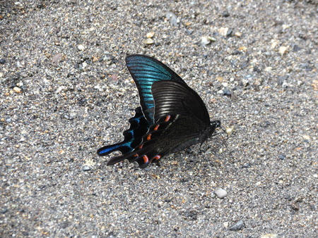 asian ancestry: Chinese Peacock Butterfly Papilio Bianor Japan