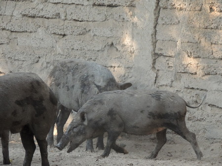 Wild boar in farm, Thailand.