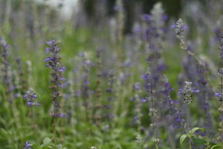 Purple flowers in the garden. Stock Photo