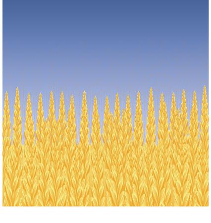 oat field: Wheat field, blue sky, vector background, 8 format