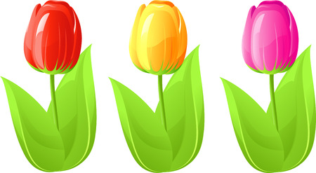 Three tulip, red, yellow, pink, isolated on white, vector, 8 format