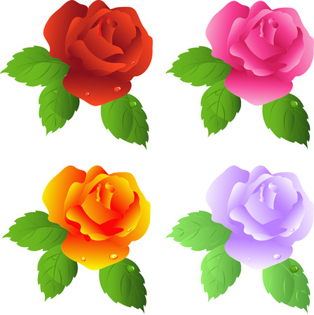 Roses, isolated in white, vector Vector