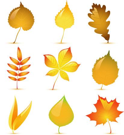lindeboom: Vector herfst bladeren van de berk, populieren, ash, kastanje, ивы, eiken, Linde, walnoot en maple. Op wit wordt geïsoleerd.