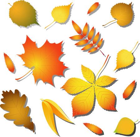 sauce: Vector de otoño las hojas de abedul, álamo, el fresno, el castaño, ???, roble, tilo, nogal y arce. Aislado en blanco. Vectores
