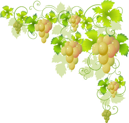 bunch of grapes: Decorative corner of the vine. Over white.