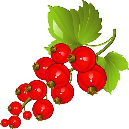 Illustration der rote Johannisbeeren weiß. EPS 8