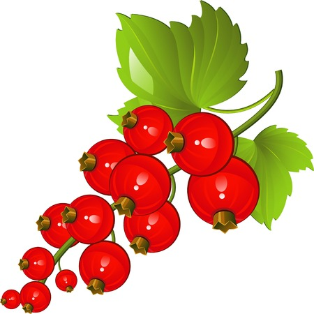 currants: illustration of red currants over white. EPS 8